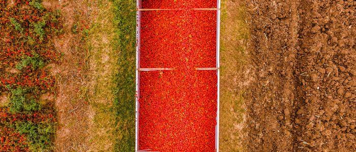 Vogelperspektive auf Tomaten aus Parma im Container auf dem Feld
